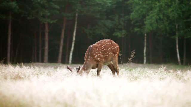 Dappled deer grazing video