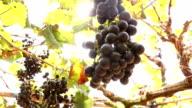 Dark blue Vineyard Grapes on trees video