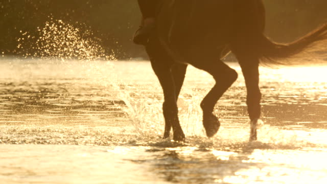 SLOW MOTION: Dark brown horse drinking water and walking in the river at sunset video