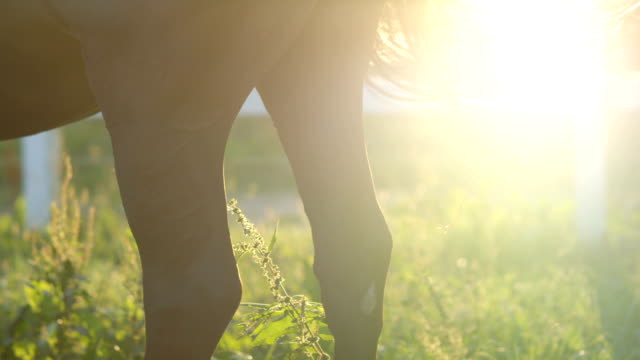CLOSE UP: Dark brown horse moving his long tail gently from side to side video