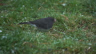 Dark Eyed Junco pecking at ground as it snows video
