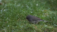 Dark Eyed Junco pecking at ground as snow falls video