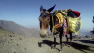 Dark Mule standing at high altitude mountain pass, chewing video