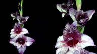 Dark red and white gladiolus flower blooming timelapse video