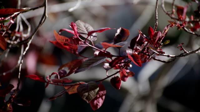 Dark Red Tree Leaves Blowing in the Wind video
