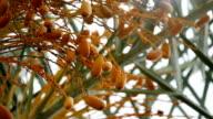 Date palm fruit  (Phoenix dactylifera) video