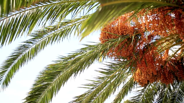 Date palm in Montenegro video