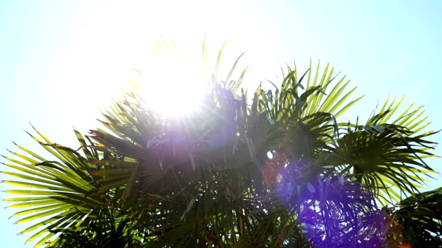 Date palm in the sun. Slide from left to right. Sun shines through leaves. Backlighting. Medium shot. video