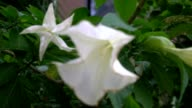 Datura Metel, 'Angel's Trumpet' or 'Devil's Trumpet' flowers, racking focus. video