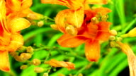 Daylilies covered with rain drops video