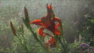 Daylily watering video