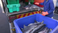 Dead baby sharks being crated for shark fin industry video