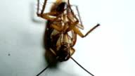 dead cockroach video