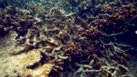 Dead coral killed by global warming video