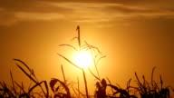 Dead Corn Fiel At Sunset HD video