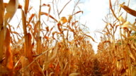 Dead Corn Field Moving Row HD video
