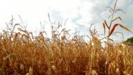 Dead Corn Field Pan HD video