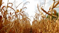 Dead Corn Field Row HD video