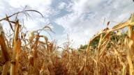 Dead Corn Field Zoom HD video