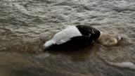 Dead duck. video