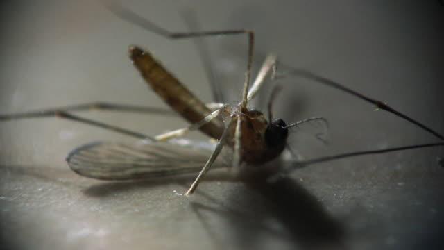 Dead mosquito video