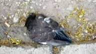 Dead pigeon on the ground video