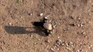 Dead pigeon, raven video