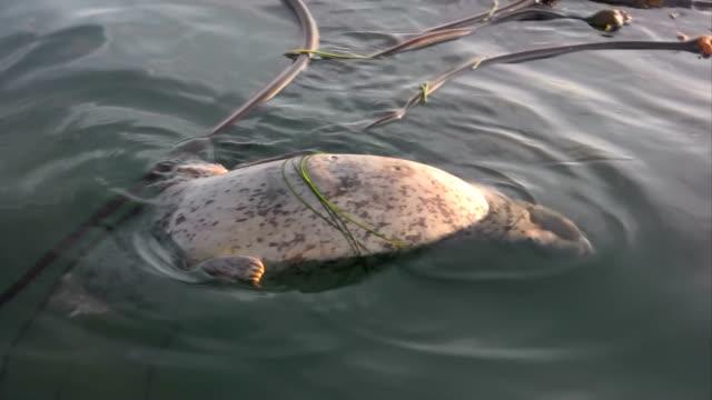 Dead Seal mammal shark attack orca bite killer whale sea video