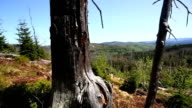 Dead Tree Trunks in Damaged Forest PAN video