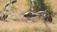 Death FETUS and RAPTORs Maribu Storks & Vultures video