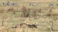 Death Wildebeest and Zebras video