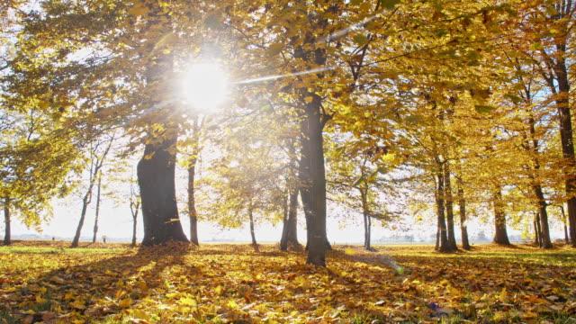 SLO MO Deciduous fall trees video