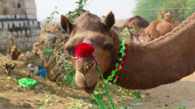 Decorated camel video