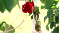 decorations of roses in a bottle on the tree video