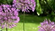 decorative garlic allium flower move in wind and bee. Focus change. video