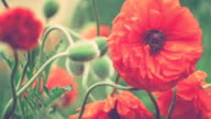 Decorative red poppy flower in spring day, close up with some green halms, 1080p video