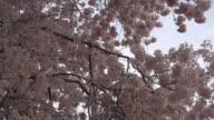 Deep Pink Cherry Blossoms video