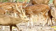 Deer, axis deer, samba deer video