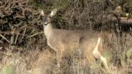 Deer Chewing In Sonoran Desert video