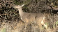 Deer Chewing On Vegetation video