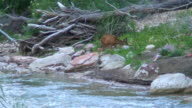 Deer Grazing by Stream Part 1 video