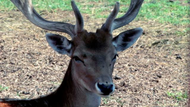 Deer head video