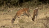 Deer hinds in harem during rut in autumn mountain forest. video