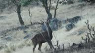 Deer in Andalusia video