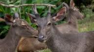 Deer in khaoyai international park,Thailand video