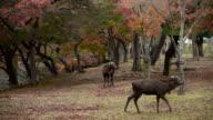 Deer in Nara park, Japan video