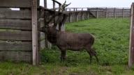 Deer in paddock waiting for food video