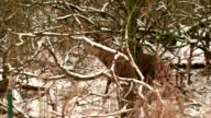deer in snow covered forest video