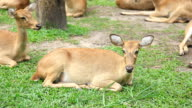 deer lying on the grass. video
