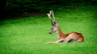 Deer Resting In The Grass video